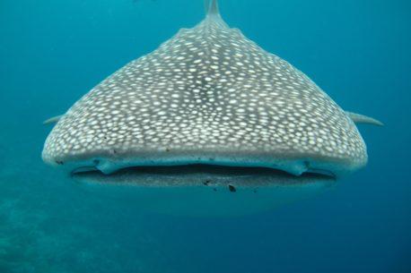 Gibuti e gli squali balene