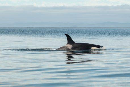 Norvegia orche